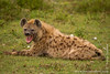 Spotted Hyena Yawning
