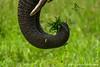 African Bush Elephant Trunk