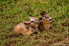 Bat-eared Fox Cubs