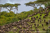 Blue Wildebeest aka White-bearded Wildebeest aka Common Wildebeest