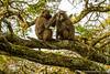 Olive Baboon aka Anubis Baboon Grooming
