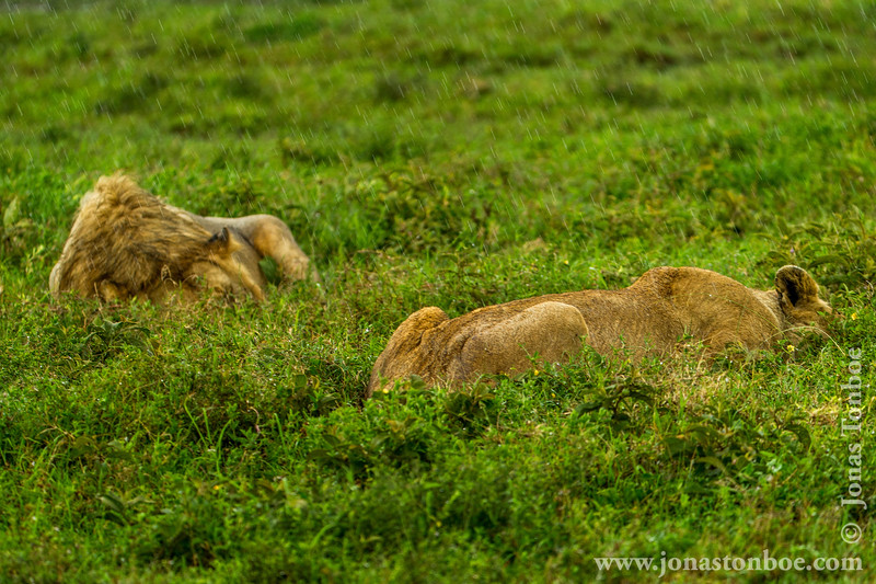 Male and Female African Lion in the Rain