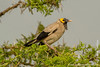 Wattled Starling