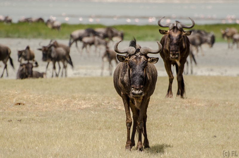 Wildebeest eye contract