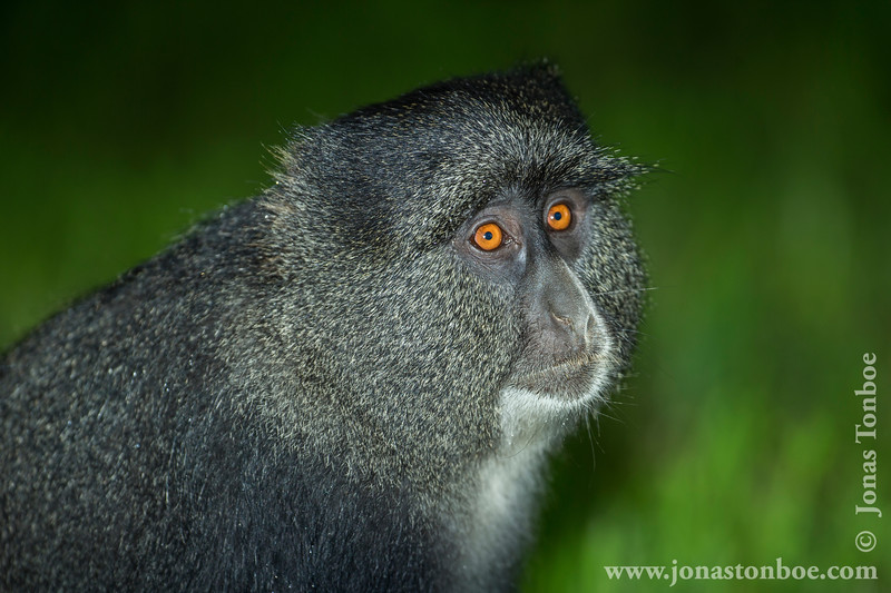 Blue Monkey aka Diademed Monkey