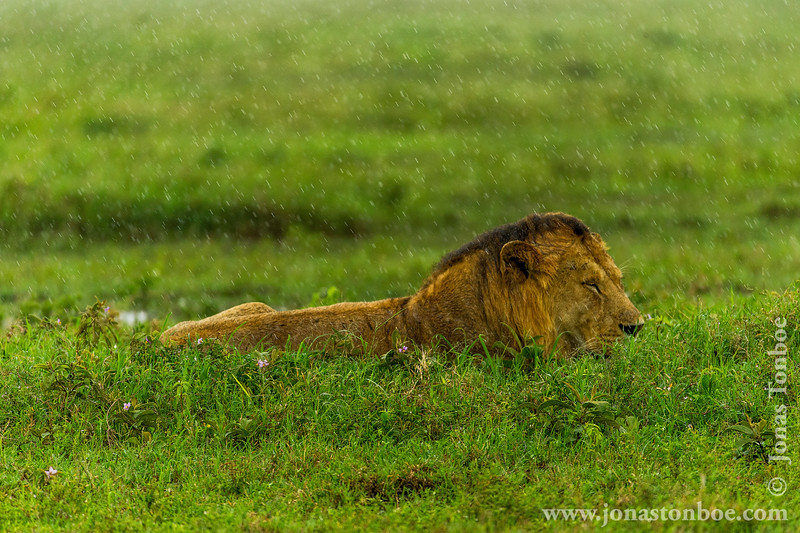 African Male Lion in the Rain