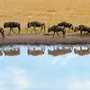 20 Wildebeest