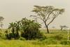 Palm Trees and Acacia Trees