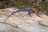 Female and Male Mwanza Flat-headed Rock Agama aka Spiderman Agama