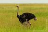 Male Masai Ostrich