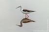Black-winged Stilt aka Common Stilt aka Pied Stilt