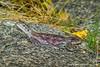 Female Mwanza Flat-headed Rock Agama aka Spiderman Agama