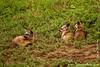 Bat-eared Fox Cubs