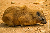 Rock Hyrax aka Cape Hyrax aka Rock Badger
