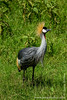 Grey Crowned Crane aka Southern Crowned Crane aka South African Crowned Crane