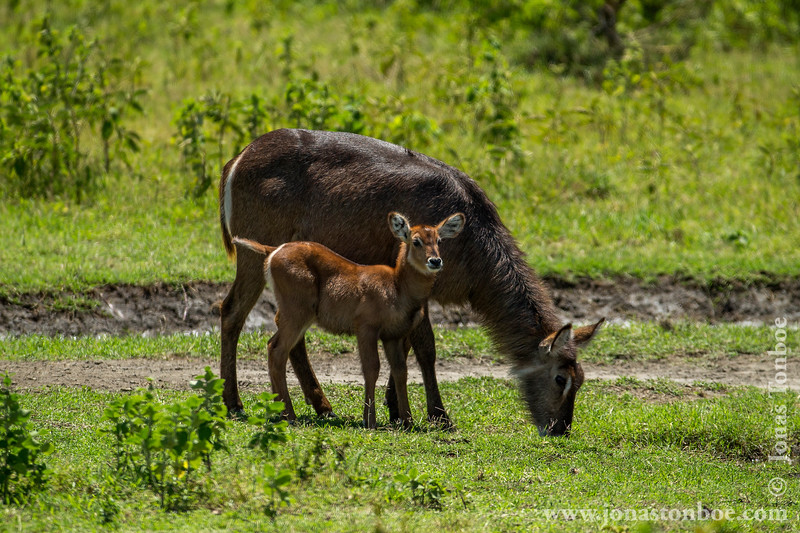 Female Common Waterbuck and Calf
