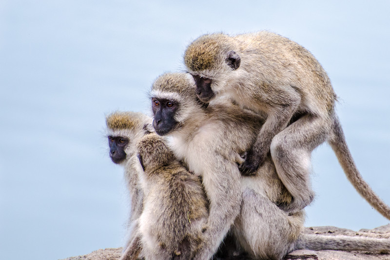 3 monkeys on a log - maybe 4