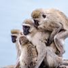 3 monkeys on a log - maybe 4