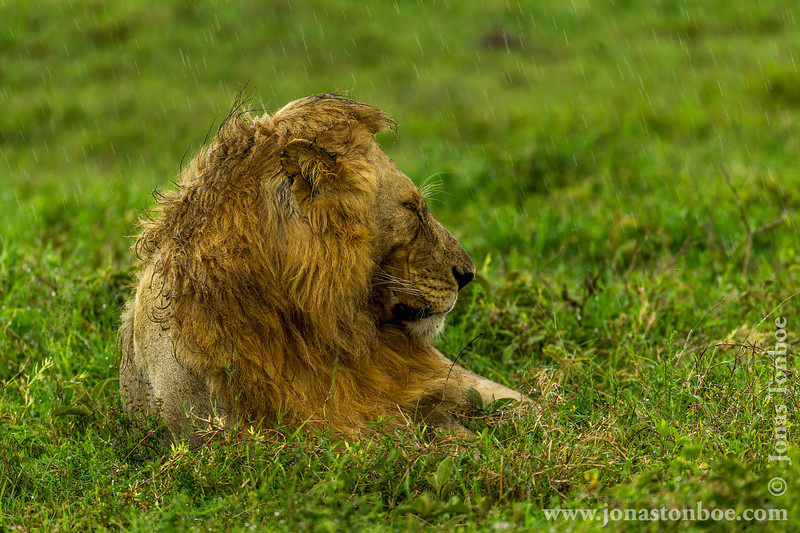 Male African Lion in the Rain
