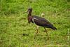 Abdim's Stork aka White-bellied Stork