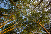Tree Canopy