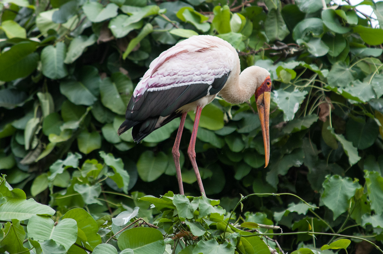 Yellow billed stork near Lake Manyara