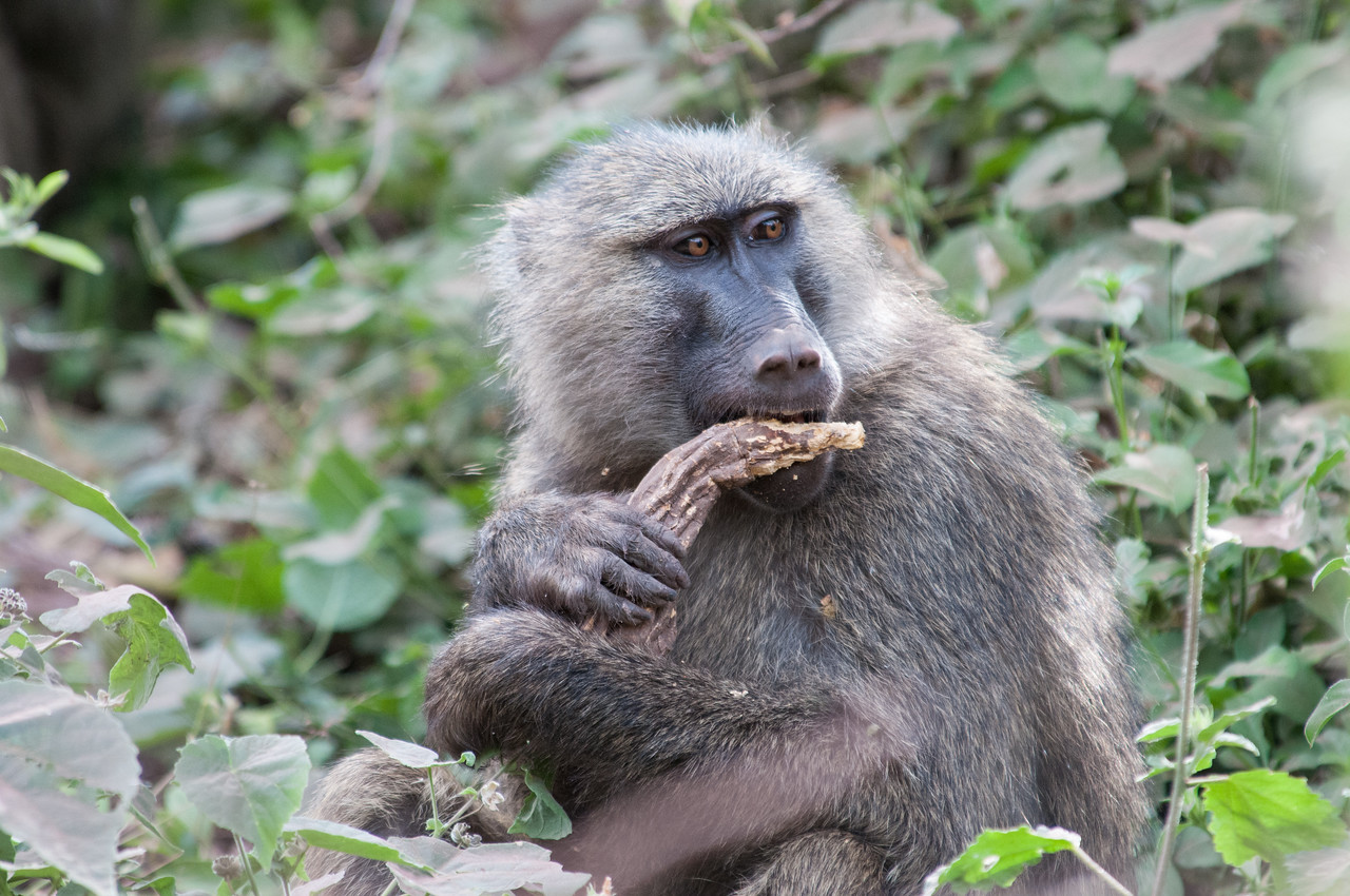 Baboon with bark.