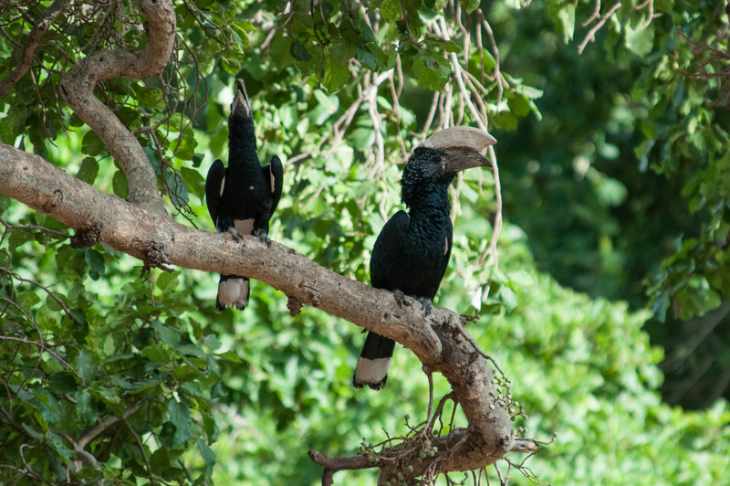 Some kind of hornbill