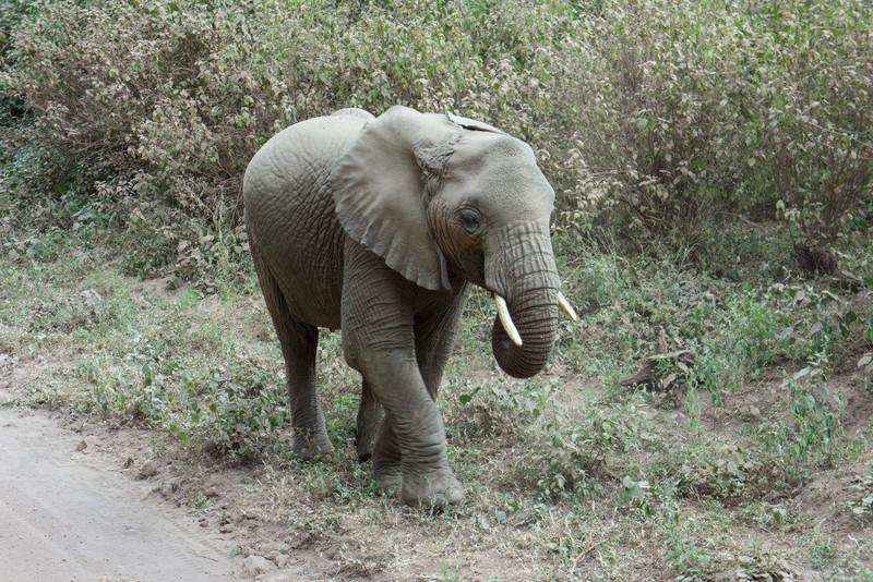 Young elephant near Lake Manyara.