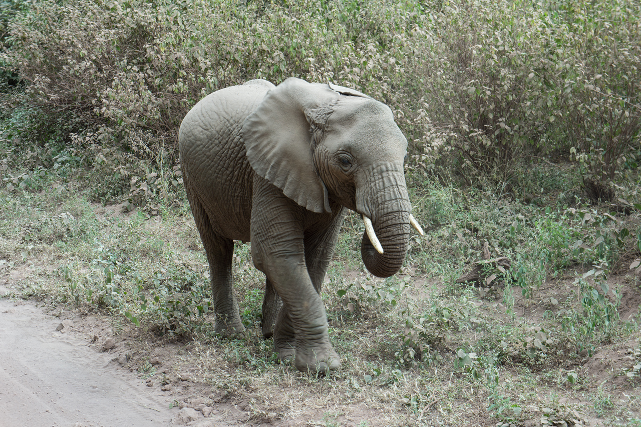 Young elephant near Lake Manyara.