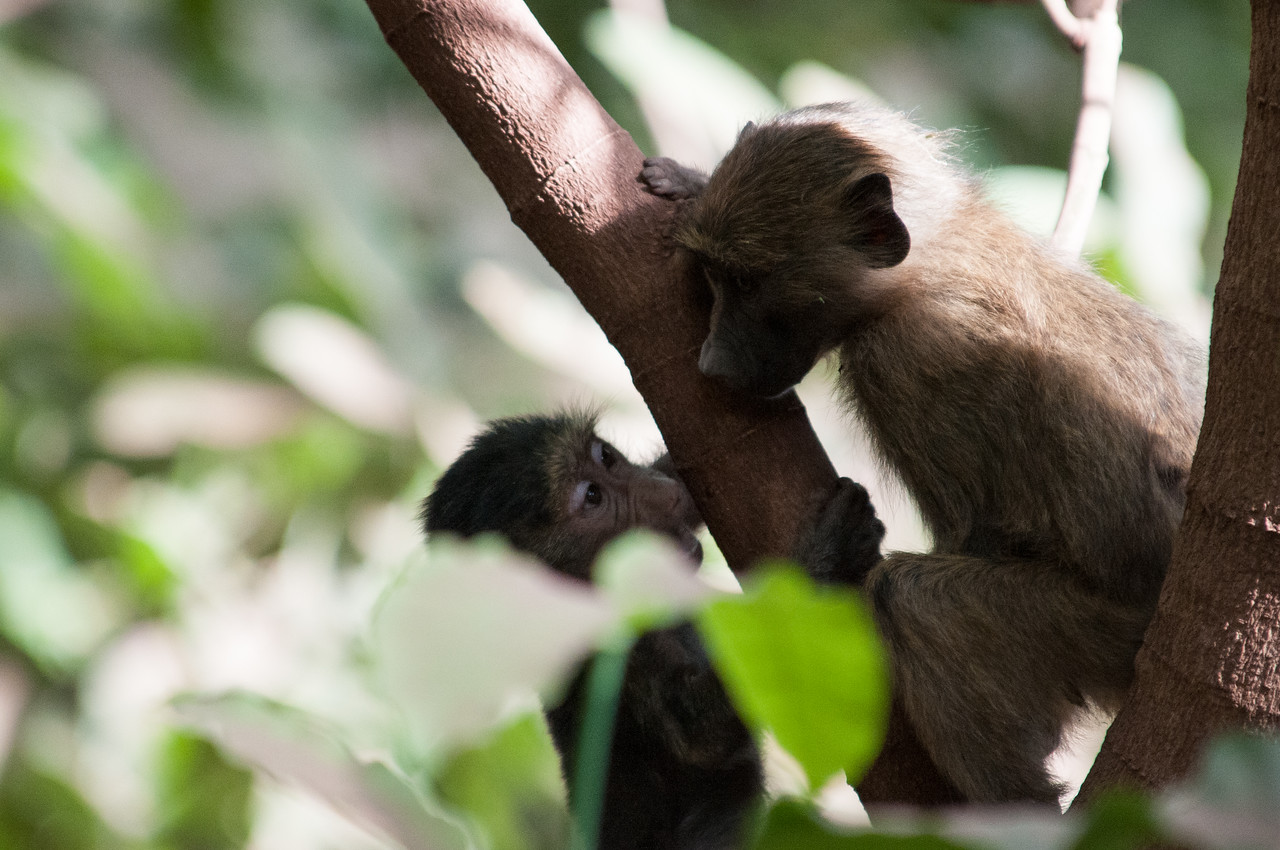 Baby baboons.