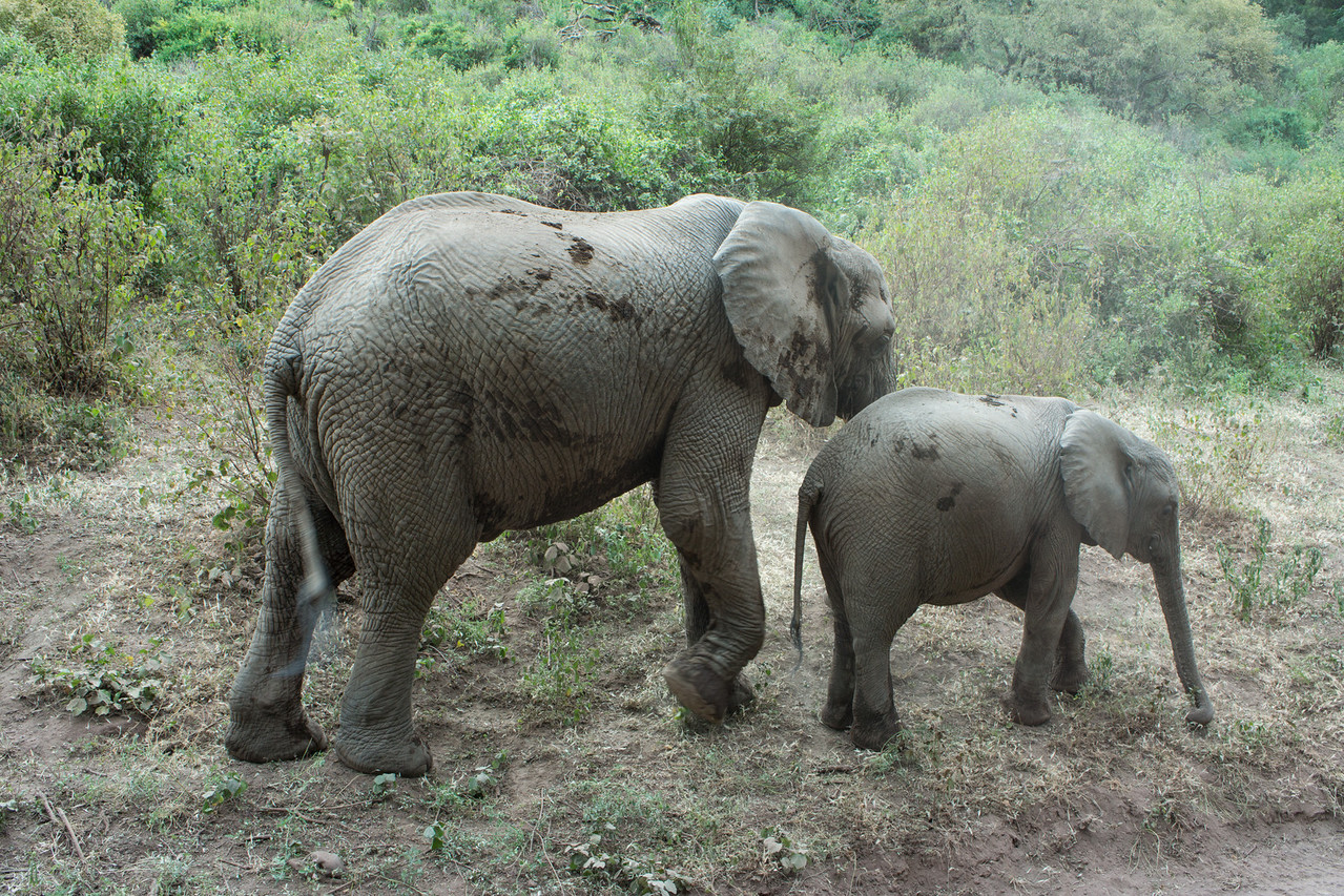 Baby and cow elephant near Lake Manyara.