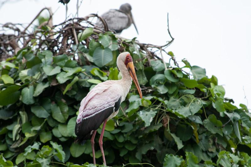 Yellow billed stork near Lake Manyara