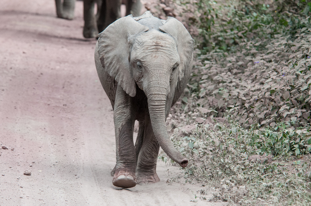 Baby elephant passing us on the road.