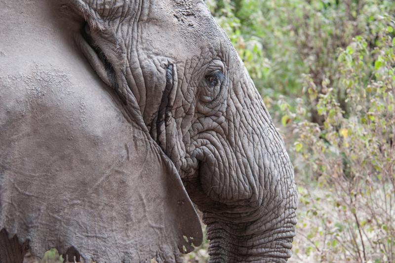 Tuskless elephant (the dangerous kind) near Lake Manyara.