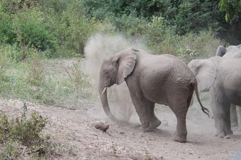 Elephants taking a dust bath near Lake Manyara.