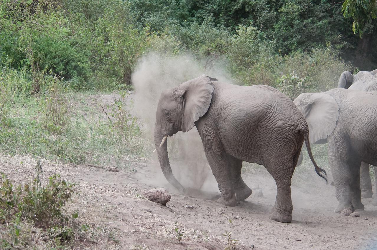 Elephants taking a dust bath near Lake Manyara.