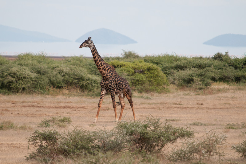 Maasai giraffe with Lake Manyara.