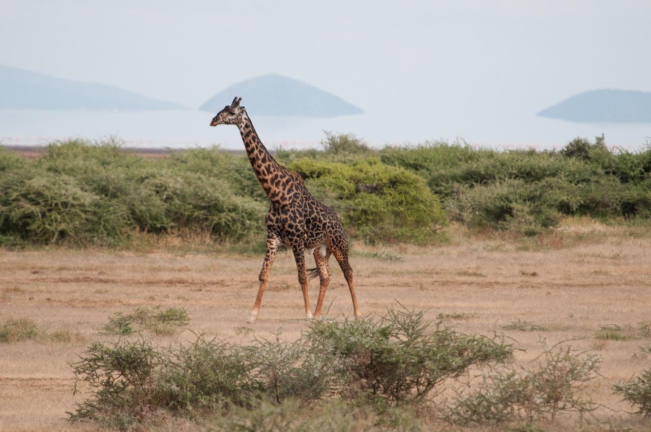 Maasai giraffe with Lake Manyara.