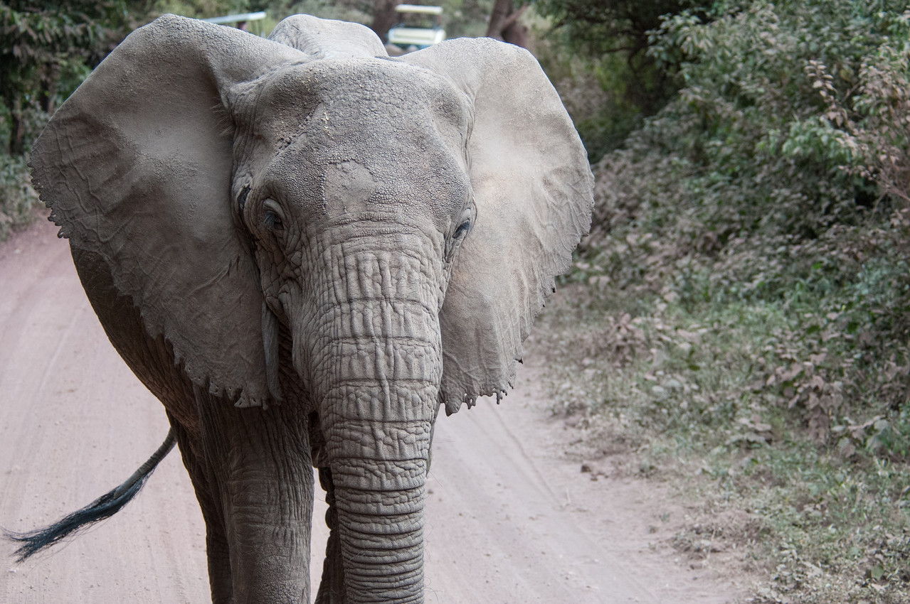 Tuskless elephant (the dangerous kind) near Lake Manyara.