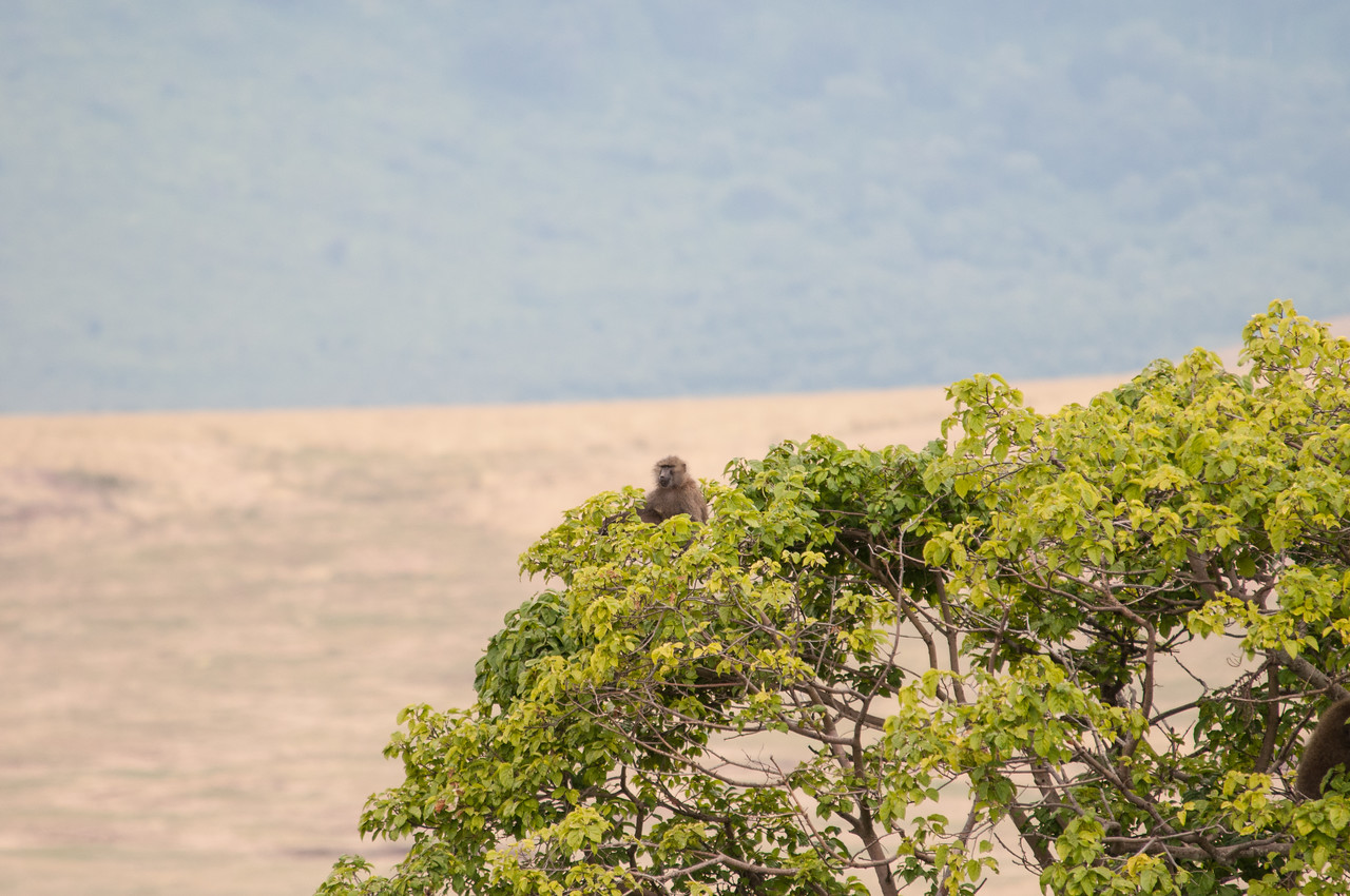 Baboon watching lions from a tree