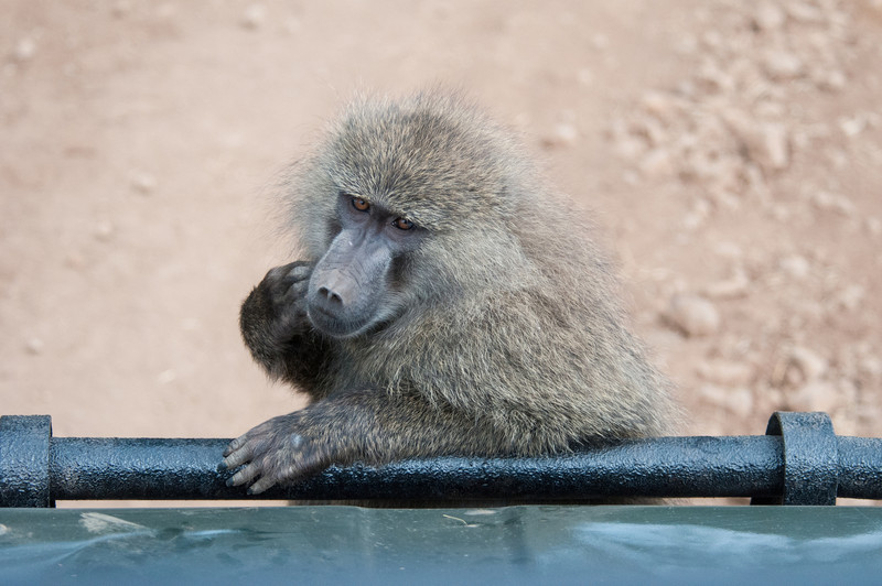 Baboon on our Land Cruiser