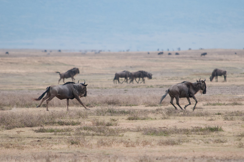 Wildebeests running