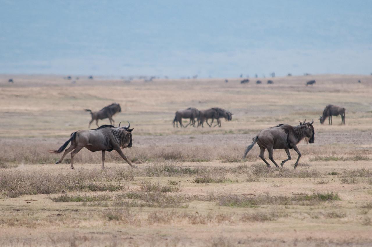 Wildebeests running