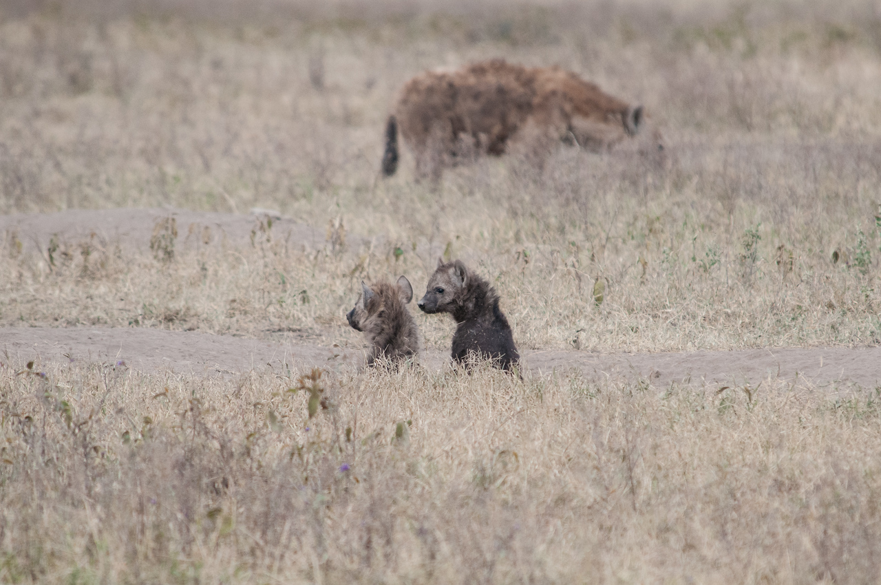 Baby hyenas with parent in the distance