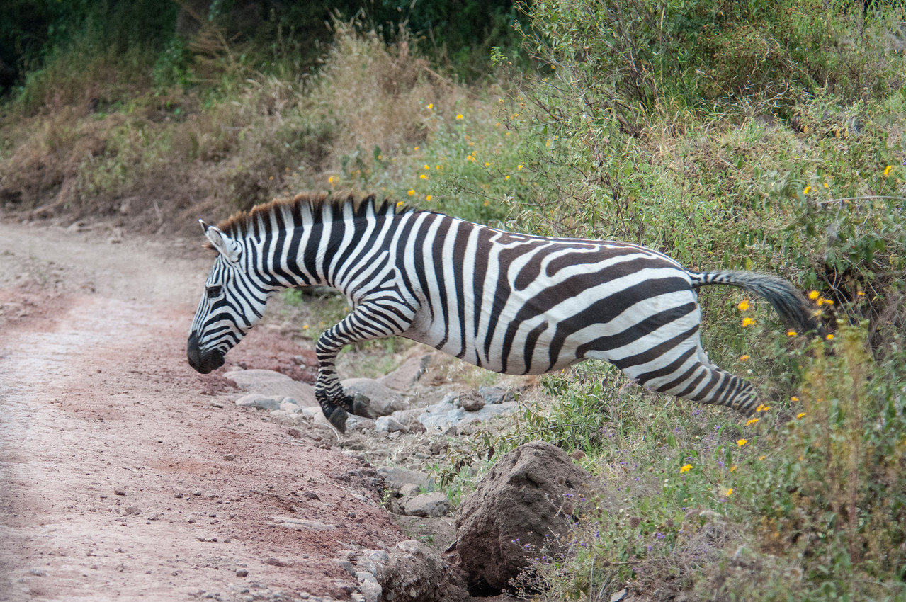 Zebra jumping a ditch by the road