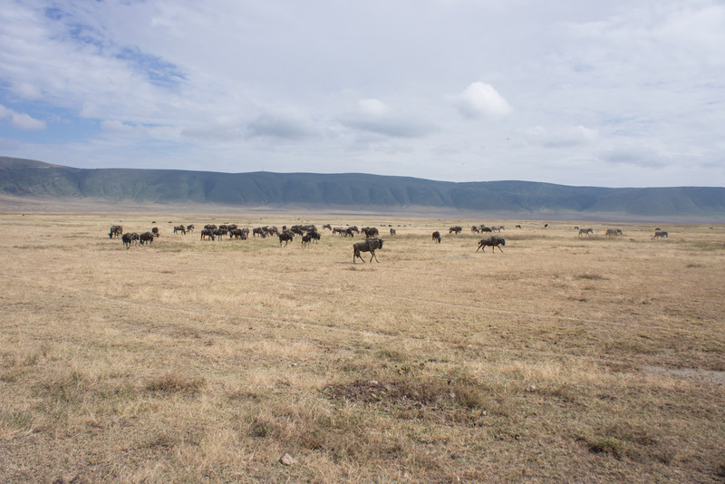 Wildebeest in the distance.
