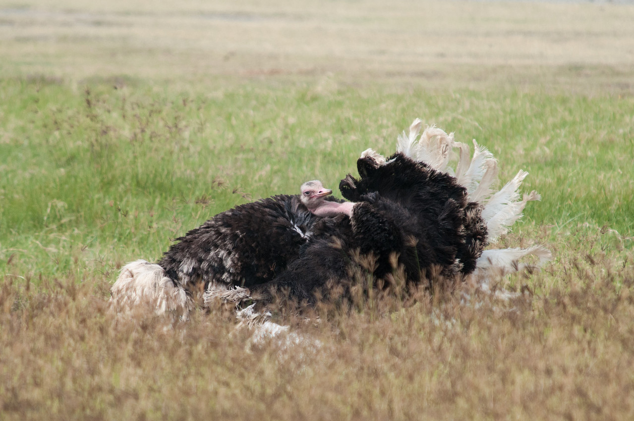 Male ostrich displaying