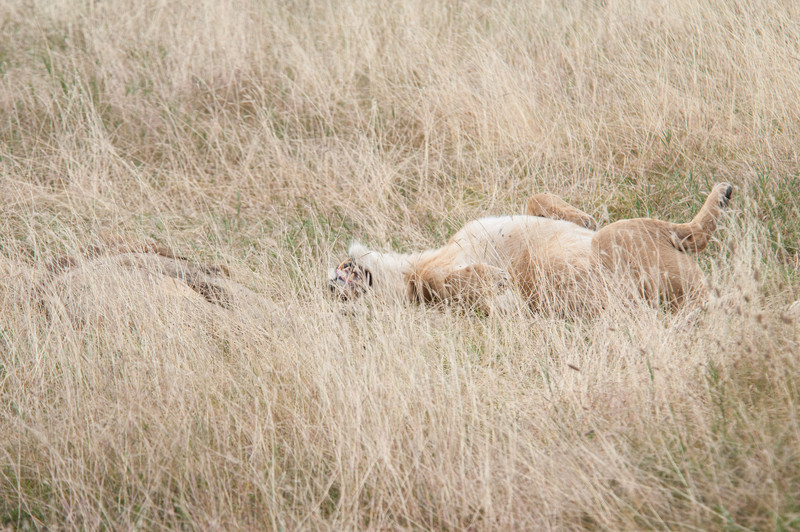 Lioness rolling near male lion
