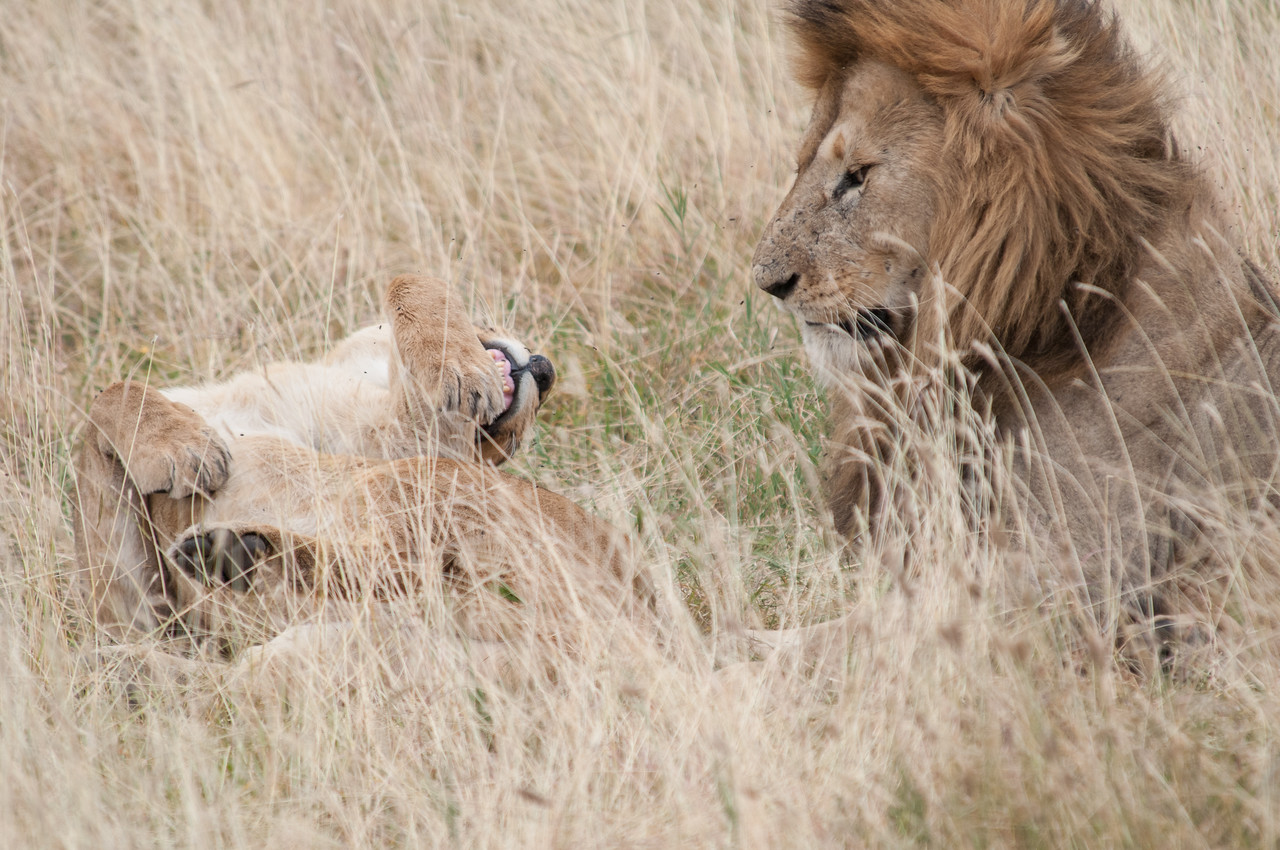 Male lion being rejected